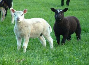 sheep vet